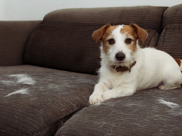 Furry Jack Russell dog, shedding hair while playing on grey upholstered sofa furniture